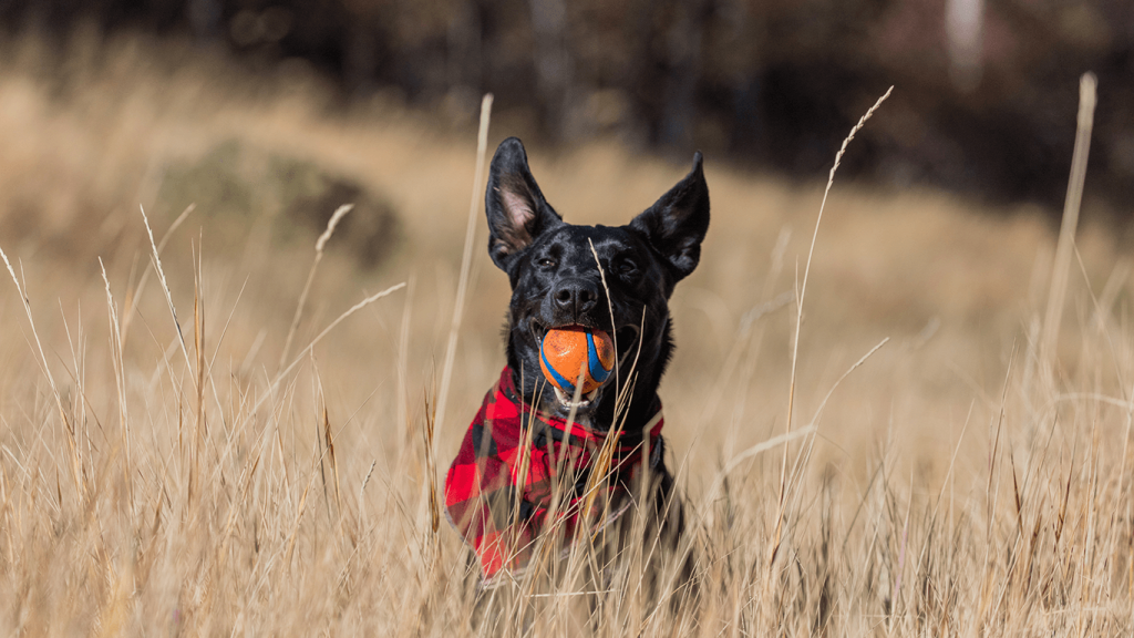 A dog with a ball in his mouth representing reinforcement learning.